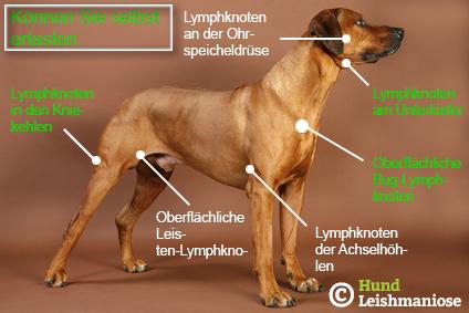 Lymphknoten Hund Skizze